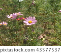Pink flower of autumn cherry blossom cosmos 43577537