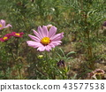 Pink flower of autumn cherry blossom cosmos 43577538