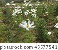 ดอกซากุระสีขาวในฤดูใบไม้ร่วง 43577541