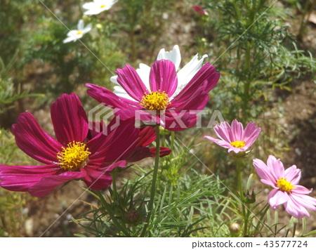大波斯菊 白色 粉色 43577724