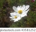 ดอกซากุระสีขาวในฤดูใบไม้ร่วง 43581252