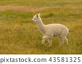 Walking baby cute alpaca over green glass 43581325