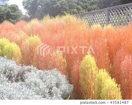 秋天有色的紅松鼠 43581487