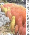 秋天有色的紅松鼠 43581488