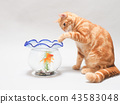 設法小的貓捉住金魚 43583048