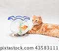 小貓看金魚 43583111