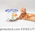 금붕어를 바라 보는 새끼 고양이 43583177