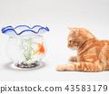 小貓看金魚 43583179