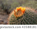 cactu, benkei pillar, botanic 43588181