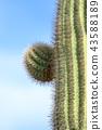 cactu, benkei pillar, botanic 43588189