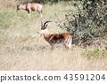 동물, 소과, 아프리카 43591204