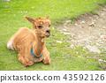 羊駝 動物 放牧 43592126