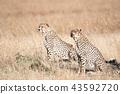 치타, 동물, 야생 동물 43592720