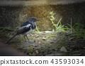 Oriental magpie Robin  43593034