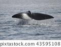 고래, 바다, 동물 43595108