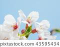 벚꽃 왕 벚나무 클로즈업 43595434