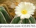 Parodia Claviceps Spegazz cactaceae 43595765