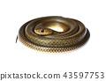 snake isolated on white 43597753