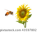Sunflower,bee  isolated on white background 43597802