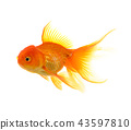 Goldfish on White Background 43597810
