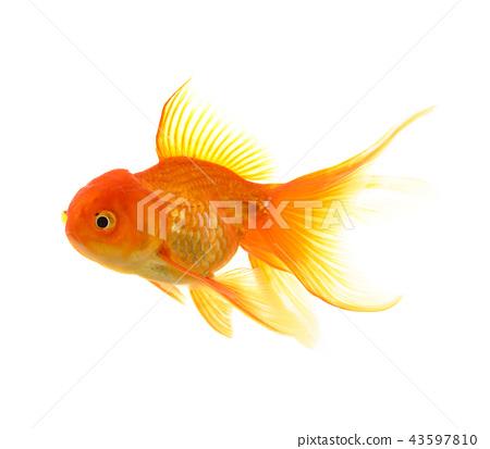 Goldfish on White Background 43597810
