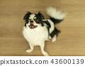 Chiwawa dog family 20 pet 43600139
