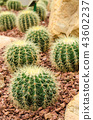 Golden Barrel Cactus plant 43602237