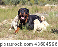 rottweiler and puppies labrador 43604596
