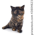 Exotic Shorthair kitten 43604623