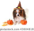 young papillon dog and halloween 43604818