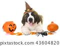 puppy saint bernard and halloween 43604820