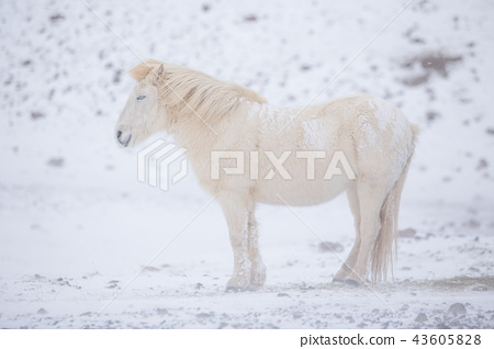 White horse staying during snowy winter day in Iceland. 43605828