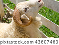 Sheep in a field of green grass on the farm 43607463
