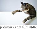 與拷貝空間的白色後面白色背景逗人喜愛的白色野雞貓 43608687