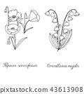 Papaver, poppy seed lily of the valley convallaria 43613908