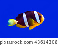 Clown fish Clark clown and aquarium on blue background 43614308