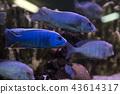 Malawi cichlids. Fish of the genus Cynotilapia in the aquarium 43614317