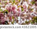 closeup of beautiful blossom cherries 43621005