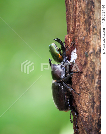 Beetles and canabuns gathered in sap Insect Insect Beetle Nocturnal Adult Organism Summer vacation Mushi Male Cubworm 43621444