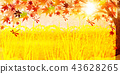 Rice countryside autumn background 43628265