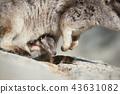 沙袋鼠 动物 有袋类动物 43631082