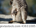 Rock wallaby 43631085