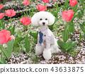 สุนัข,สุนัช,ทอยพุดเดิล 43633875