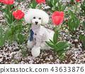 สุนัข,สุนัช,ทอยพุดเดิล 43633876