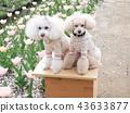 สุนัข,สุนัช,ทอยพุดเดิล 43633877