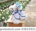 สุนัข,สุนัช,ทอยพุดเดิล 43633931