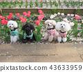 สุนัข,สุนัช,ทอยพุดเดิล 43633959
