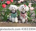 สุนัข,สุนัช,ทอยพุดเดิล 43633994