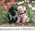 สุนัข,สุนัช,ทอยพุดเดิล 43634013