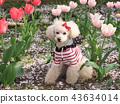 สุนัข,สุนัช,ทอยพุดเดิล 43634014